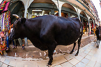 Cows graze on a street  in Kathmandu, Nepal.