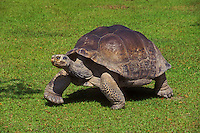 Galapagos Giant Tortoise (Chelonoidis elephantopus). Captive.