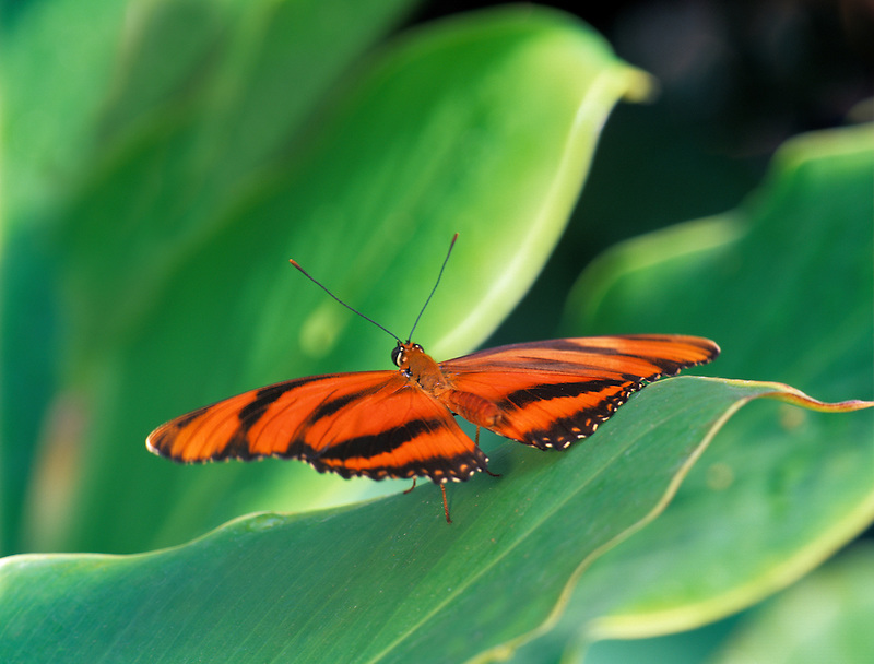 Unidentified orange butterfly on foliage. Crystal Gardens. Victoria, British Columbia, Canada.