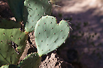 A heart shaped prickly pear cactus pad in Grand Canyon
