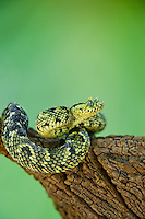 489550014 a captive usambara mountains eyelash bush viper atheris ceratophora sits coiled on a tree stump species is newly recorded and native to the usambara mountains of tanzania