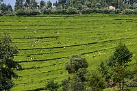 RWANDA, tea plantation between Ruhengeri and Gitarama / RUANDA, Teeplantagen