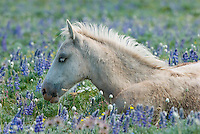 Wild Horse or feral horse (Equus ferus caballus) colt resting among wildflowers.  Western U.S., summer.
