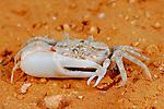 Fiddler Crab (Uca inversa), Socotra, Yemen