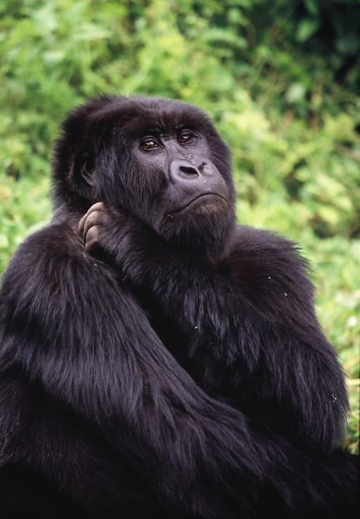 Mountain Gorilla ( gorilla gorilla beringel ) in the rain forest of Rwanda