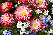 Gisela, FLOWERS, BLUMEN, FLORES, photos+++++,DTGK2382,#f#, EVERYDAY