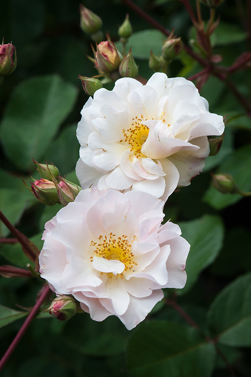 Rosa 'Penelope', mid June. A hybrid musk rose with shell-pink flowers that fade to white. Bred in Britain and introduced in 1924.