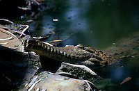 The freshwater crocodile (Crocodylus johnstoni), also known as the Australian freshwater crocodile, Johnston's crocodile or colloquially as freshie, is a species of reptile endemic to Australia. Found in the northern regions of Australia, it is much smaller than the other Australian species, the saltwater crocodile, which is responsible for attacks on people.