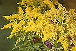 Tall Goldenrod, Solidago altissima<br />