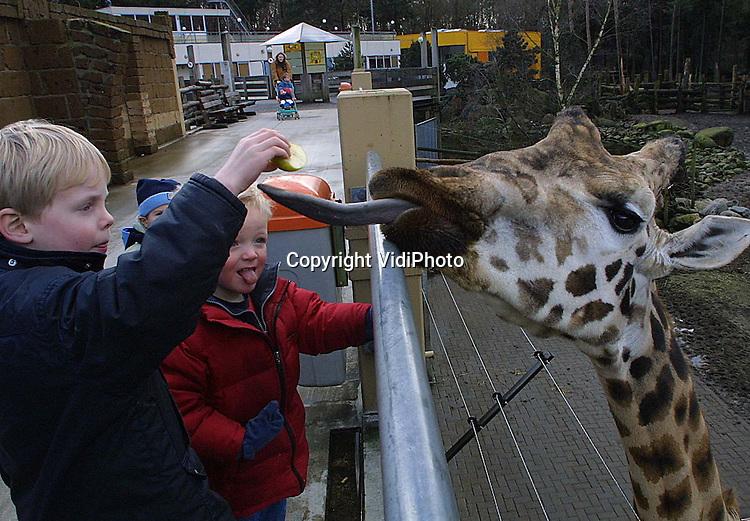 Foto: VidiPhoto..AMERSFOORT - Het voeren van de beesten in Nederlandse dierentuinen is vrijwel overal verboden. Soms hebben kinderen echter geluk, zoals deze kinderen in Dierenpark Amersfoort. Onder toezicht van de verzorger mochten ze deze giraffe een stuk appel geven. Het blijft natuurlijk altijd eng, zo'n lange natte tong.