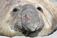 Southern Elephant - Seal Mirounga leonina - bull. Length 2-3m, weight 400-850kg Massive seal. Male is up to four times larger than female, with distinctive proboscis. Breeds on Sub-Antarctic islands, notably South Georgia.