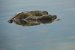 this turtle was mating in the water. I saw his reflection in the water and captured him