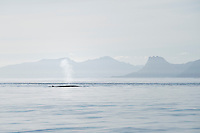 Humpback whale (Megaptera novaeangliae) with mountains of east Greenland in background