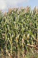 Mais-Anbau, Mais, Maiskolben, Maisfeld, auf Feld, Acker, Zea mays mit Kolben, Maize, Corn
