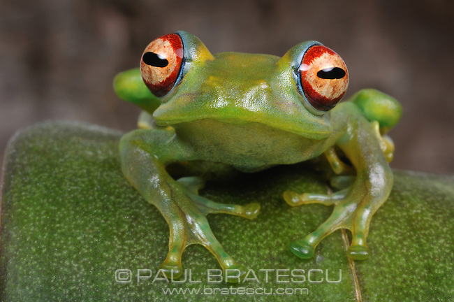 Greater Madagascan Green Treefrog (Boophis luteus)