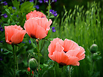 5.29.18 - Poppy & Friends....