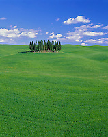 Tuscany, Italy<br /> Grove of cypress trees in rolling wheat fields near Siena, in the Val D'Orcia