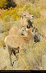 Bighorn Sheep, Female, Juvenile and Lamb, Gardner Canyon, North Entrance, Yellowstone National Park, Wyoming