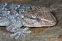 Mauergecko, Mauer-Gecko, Gecko, Hausgecko, Tarentola mauritanica, Tarentola mauretanica, Moorish Wall Gecko, Salamanquesa, Crocodile gecko, European common gecko, Maurita naca gecko, Tarente de Maurétanie, Tarente du midi, encore Tarente commune