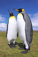 King Penguins - Apternodytes patagonica