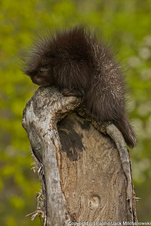 Common Porcupine (Erethizon dorsatum), baby climbing in tree, Kettle River, Minnesota, USA, captive animal animal-baby baby-animal baby-porcupine common-porcupine innocence juvenile mammal naivet? natural natural-world nature porcupine untamed wild wildli