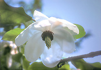 Magnolia wilsonii flower in spring against blue sky