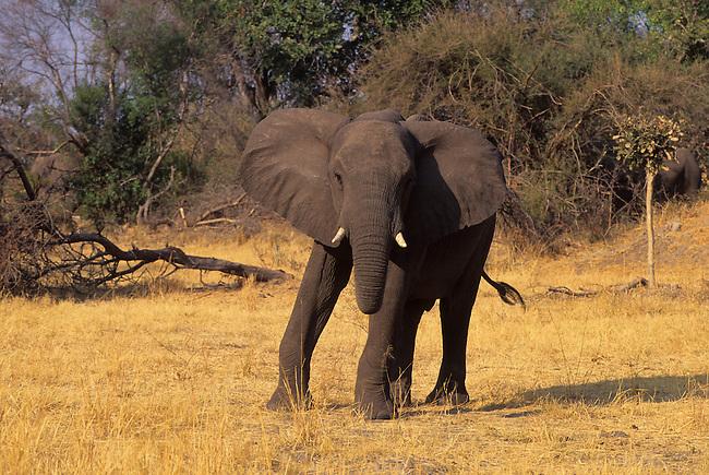BOTSWANA, OKAVANGO DELTA, MOMBO ISLAND, ELEPHANT CHARGING