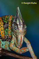 CH51-657z  Male Veiled Chameleon in display color,  Chamaeleo calyptratus