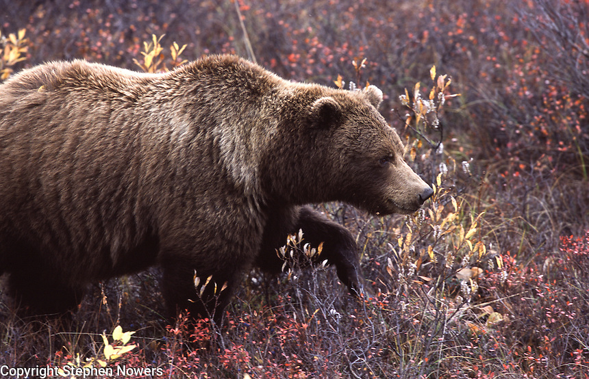 A brown bear in Denali National Park walks through autumn tundra.