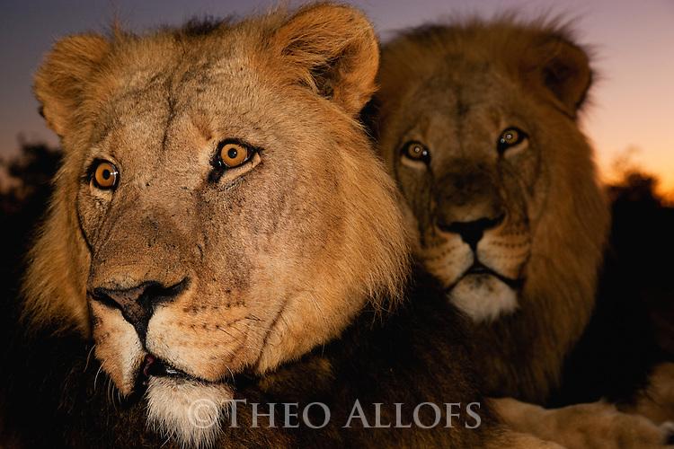 Botswana, Kalahari, private game reserve, male lions at dusk, captive