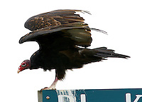Turkey vulture adult with wings spread