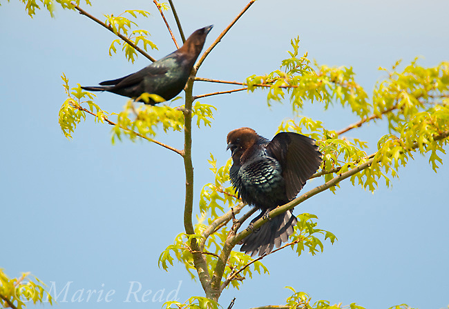 Brown-headed Cowbirds (Molothrus ater), two males, one at right performing courtship display, in a tree in spring, New York, USA<br /> Photoshot similar
