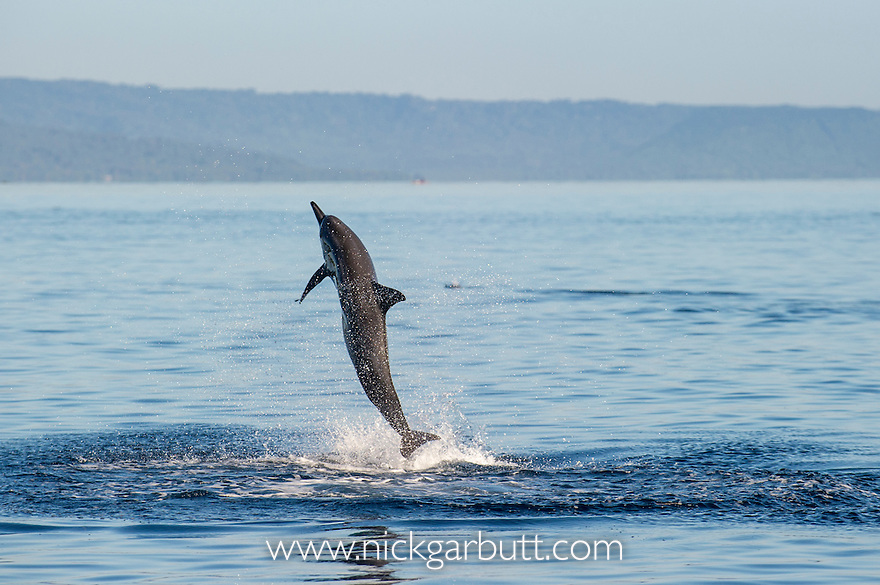 Spinner Dolphin (Stenella longirostris) leaping. Inshore waters off Rabaul / Kokopo, New Britain, Papua New Guinea. June