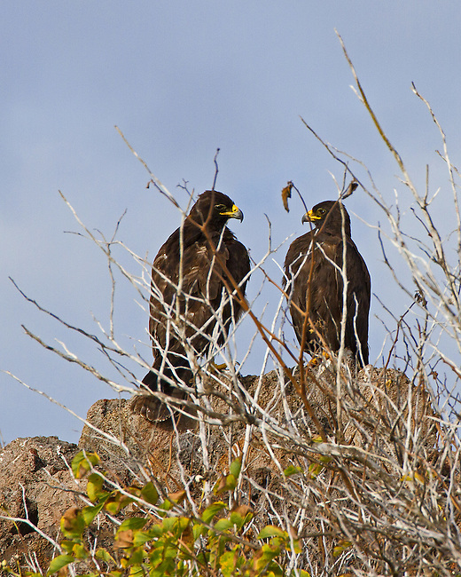 Two adult Galapagos Hawks perched on a large rock stand out in the leafless-brush on Espanola Island, in the Galapagos where they are endemic. Similar in size to the Red-tailed Hawk, the Galapaogs hawk is about 47-inches long with a wing span around 21-22 inches.
