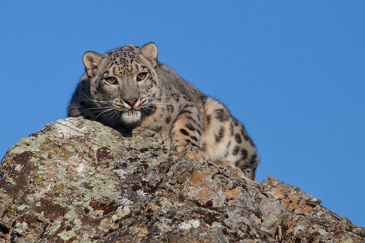 Snow Leopard lying on a rocky point - CA