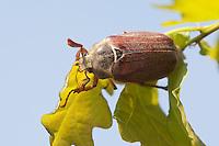 Gemeiner Maikäfer, Feld-Maikäfer, Feldmaikäfer, Melolontha melolontha, Männchen frisst an Eiche, maybeetle, common cockchafer, maybug