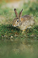 Eastern Cottontail, Sylvilagus floridanus, adult drinking, Starr County, Rio Grande Valley, Texas, USA, May 2002