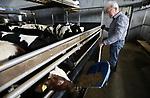 Foto: VidiPhoto<br /> <br /> LUNTEREN – Jaap Kok, bestuurslid bij LTO Noord afdeling Gelderse Vallei, aan het werk bij zijn kalveren. De VOF Kok-Geuze houdt in Lunteren sinds 2011 zo'n 1280 kalveren.