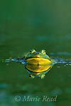 Bullfrog (Rana catesbeiana), adult in water, head and face with reflection, New York, USA<br /> Slide # A2-01
