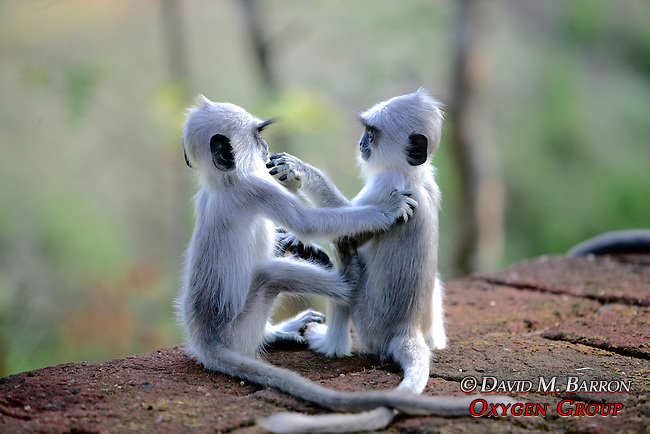Hanuman Langur Infants Grooming