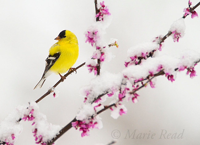 American Goldfinch (Carduelis tristis) male in breeding plumage perched in snow-covered flowering redbud after a freak spring snowstorm, New York, USA