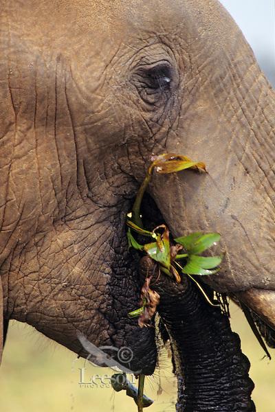 African elephant (Loxodonta africana) eating.  Matusadona National Park, Zimbabwe.  See also photo # 3ME1143.