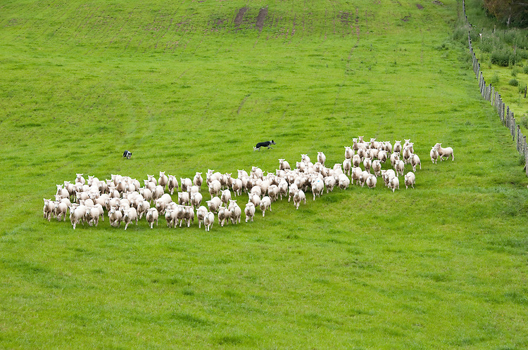New Zealand, North Island, near Wellington, sheep dogs herd sheep near The Wool Shed in Wairarapa. Photo copyright Lee Foster. Photo # newzealand125803