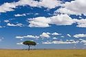 Acacia tree in grassland, Maasai Mara, Kenya