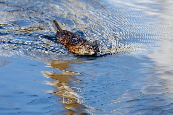 Muskrat (Ondatra zibethicus) swimming in small beaver pond.  Western U.S., spring.