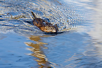 Muskrat (Ondatra zibethicus) swimming in small beaver pond.  Western U.S., spring.