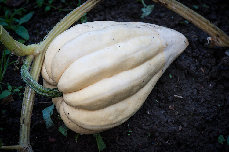 Winter squash 'Thelma Sanders Sweet Potato', mid October. An early acorn-type squash with a a very good flavour. Originally from Ohio.