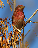 Male purple finch in ash tree