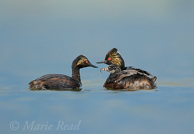Eared Grebes (Podiceps nigricollis) family, one adult has just fed damselfly to chick riding on the other's back, Bowdoin National Wildlife Refuge, Montana, USA (Digitally retouched image - chick bill cleanup)