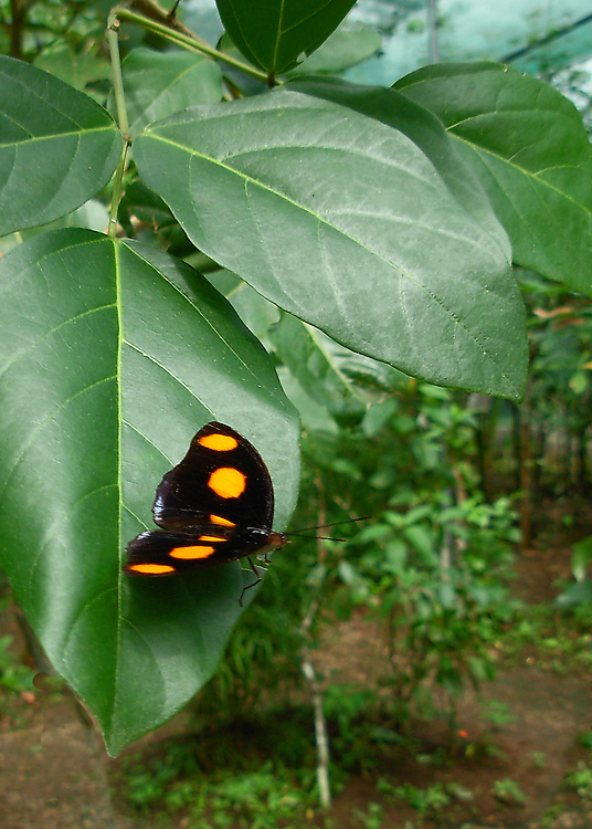 A male Grecian Shoemaker resting on a large green leaf showing off his flaming orange markings on his iridecent black wings.